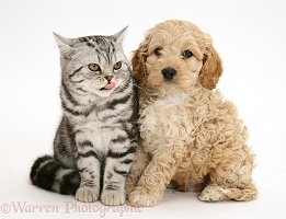 Silver tabby cat with American Cockapoo puppy