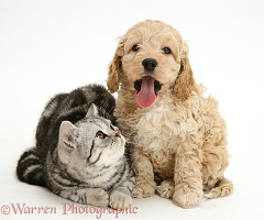 Silver tabby cat with Cockapoo puppy