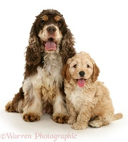 American Cocker Spaniel mother with Cockapoo puppy