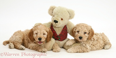 American Cockapoo puppies with a teddy bear