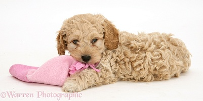American Cockapoo puppy chewing a hat