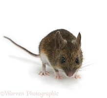 Long-tailed Field Mouse