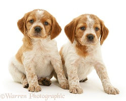 Two Brittany Spaniel pups