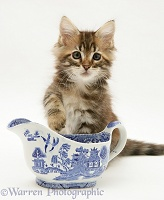 Maine Coon kitten with china gravy boat