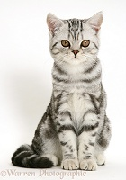 Silver tabby cat sitting