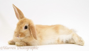 Baby Sandy Lop rabbit, stretched out