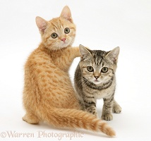 Playful ginger and tabby kittens