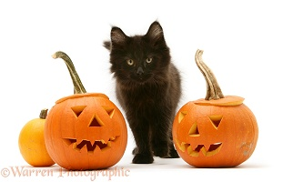 Black Maine Coon kitten with Halloween pumpkins