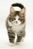 Tabby-and-white Maine Coon kitten, walking