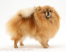 Red Pomeranian dog