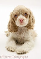 Lilac American Cocker Spaniel pup