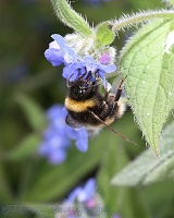 Common White-tailed Bumblebee