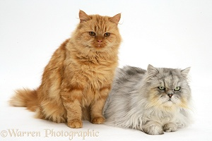 Ginger and Chinchilla Persian cats