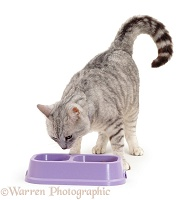 Silver tabby cat with water and food in a double bowl