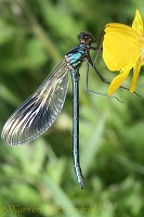 Banded Agrion Damselfly on buttercup flower
