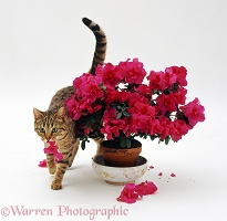 Cat carrying a mouthful of petals