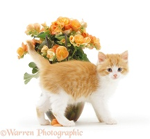 Ginger-and-white kitten rubbing past orange begonias