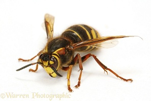 Median Wasp queen