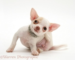 Chihuahua puppy scratching her neck