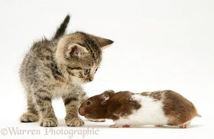 Tabby kitten with hamster