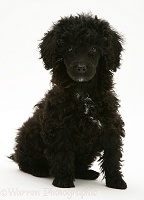 Black Miniature Poodle