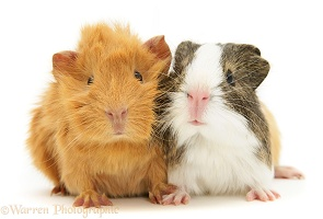 Pair of young Guinea pigs