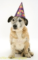 Terrier-cross dog wearing a birthday hat
