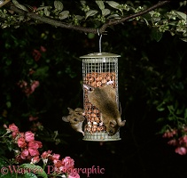 Mice on peanut feeder