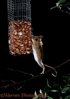 Yellow-necked Mouse on peanut feeder