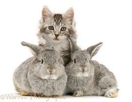 Rabbits and Maine Coon kitten