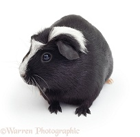 Black-and-white Crested Guinea pig