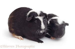 Black-and-white Crested Guinea pigs