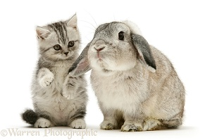 Silver tabby kitten and silver Lop rabbit