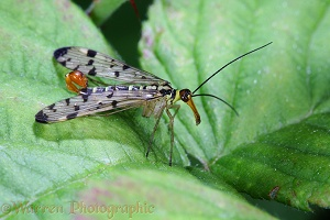 Common Scorpion Fly