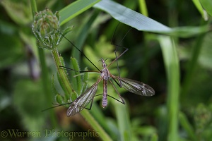Crane Fly or Daddy long legs fly