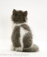 Grey-and-white kitten, back view