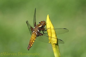 Wide-bodied Chaser Dragonfly