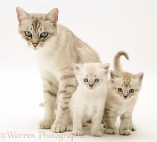 Birman-cross mother cat and kittens