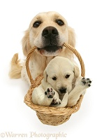 Golden Retriever with puppy in a basket
