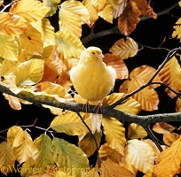 Canary among autumn leaves