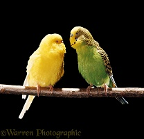 Pair of Budgerigars, green cock and lutino hen