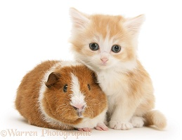 Red-and-white Rex Guinea pig and red-silver kitten