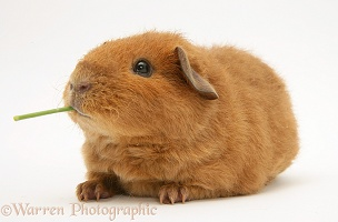 Young red Rex Guinea pig, 6 weeks old