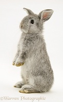 Young silver Lop rabbit