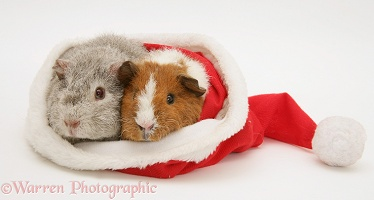 Young Rex Guinea pigs in a Santa hat