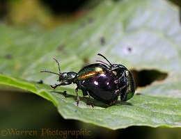 Dock Chrysomelid Beetles mating
