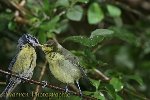 Parent blue tit feeding young
