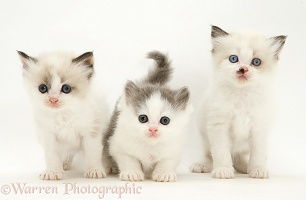 Three Birman-cross kittens