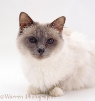 Blue Birman cat with runny eye and chronic rhinitis