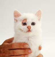 Ringworm lesions on white kitten